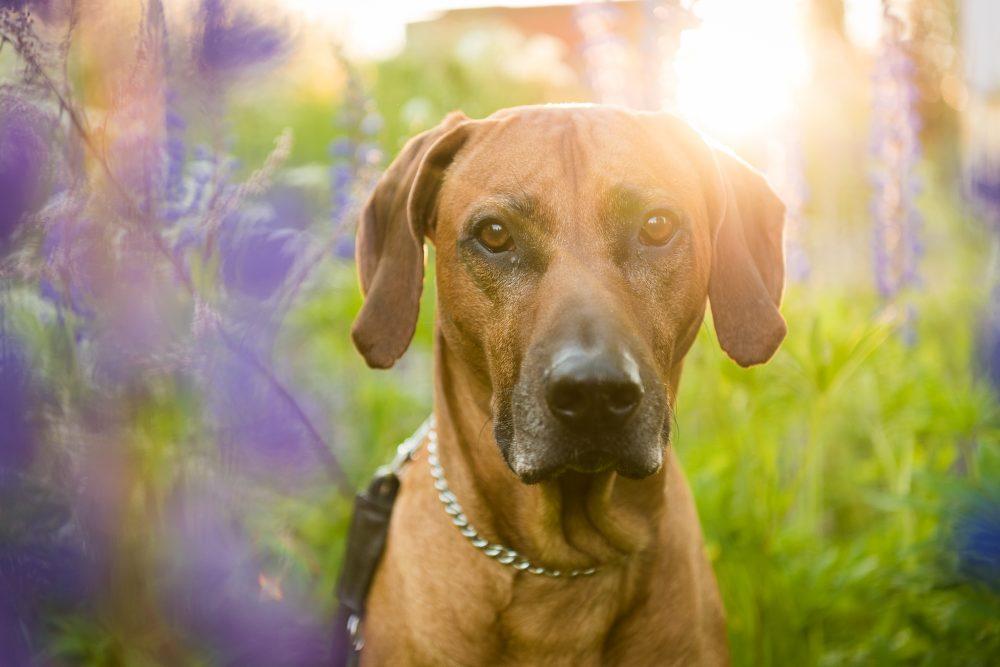 koira ja auringonlasku
